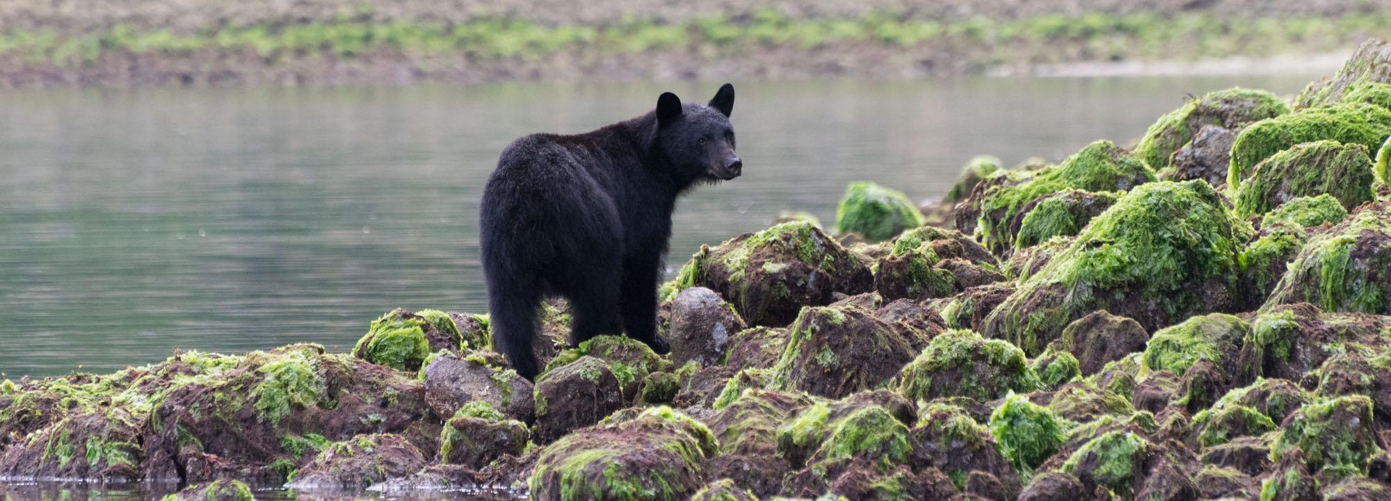 The Great Black Bear Safari